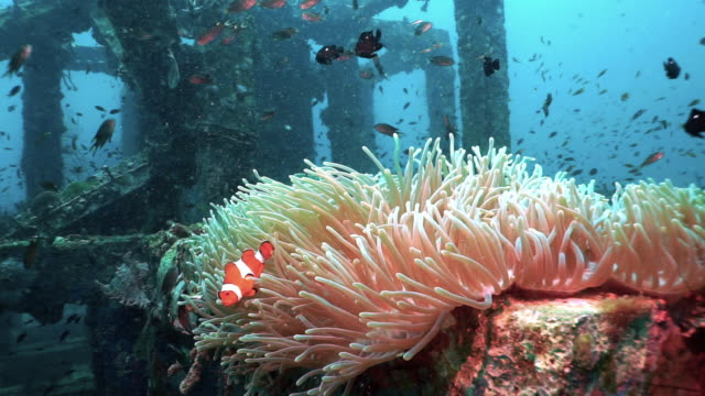 clown fish in anemone thriving in underwater artificial upcycled coral nursery reef - sea anemone stock videos & royalty-free footage