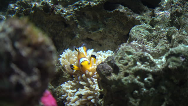 clown fish in aquarium - sea anemone stock videos and b-roll footage
