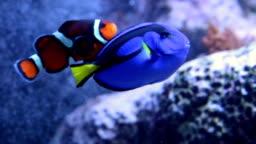 Clown fish in aquarium with blue tang