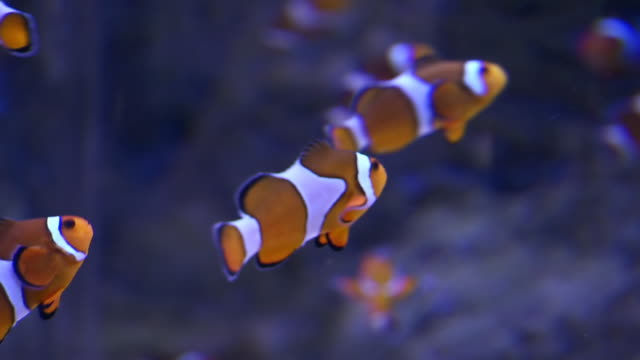 stockvideo's en b-roll-footage met cu clown fish in tank in aquarium / western cape, south africa - clownvis