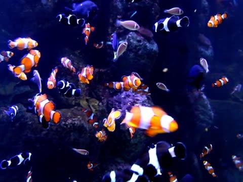 vidéos et rushes de poisson-clown & d'autres - poisson clown à trois bandes