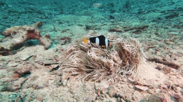 vídeos de stock e filmes b-roll de clown fish (amphiprion clarkii) surrounded by coral bleaching environmental issues - acidificação dos oceanos