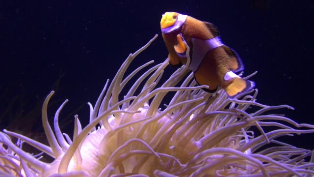 stockvideo's en b-roll-footage met clown fish swim in anemone - clownvis