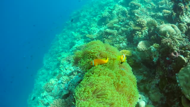 clown fish swim over the coral reef of a tropical island. - slow motion - anemonenfisch stock-videos und b-roll-filmmaterial