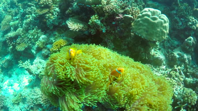clown fish swim over the coral reef of a tropical island. - slow motion - クマノミ亜科点の映像素材/bロール