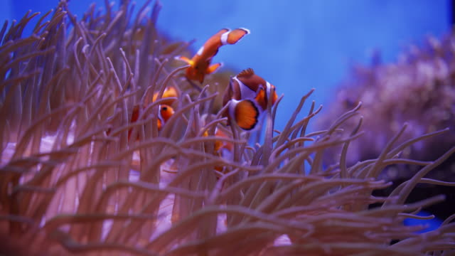 clown fish swimming between anemone in a aquarium - clown anemonefish stock videos & royalty-free footage