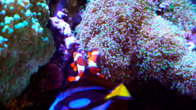 vídeos de stock e filmes b-roll de clown fish swimming next to amoeba in tropical salt water underwater landscape - amphiprion percula