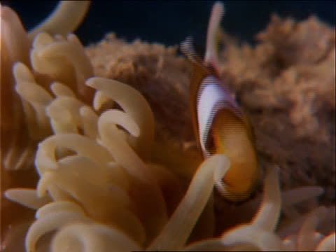 a clown fish swims among the arms of a sea anemone. - symbiose stock-videos und b-roll-filmmaterial