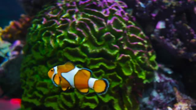 clown fish - anemonenfisch stock-videos und b-roll-filmmaterial