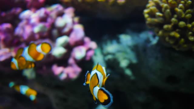 clown fish - clown fish stock videos & royalty-free footage