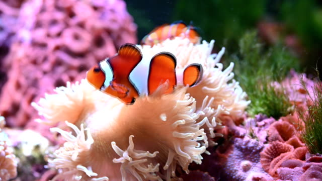 clown fish - coral cnidarian stock videos & royalty-free footage