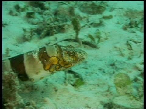 vídeos y material grabado en eventos de stock de cu clown snake eel, head moving over sandy seabed, mabul, borneo, malaysia - patrones de colores