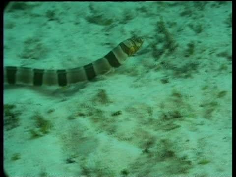 vídeos y material grabado en eventos de stock de clown snake eel, moving over sandy seabed, mabul, borneo, malaysia - patrones de colores
