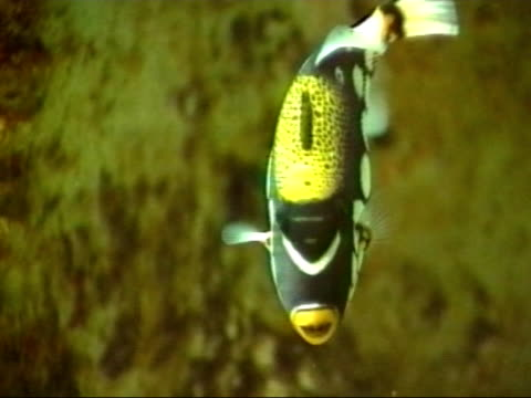 clown trigger fish 2 - balistoides conspicillum - polka dot stock videos and b-roll footage