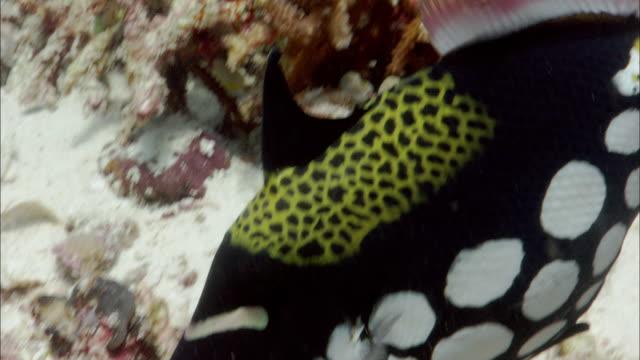 vídeos y material grabado en eventos de stock de clown triggerfish (balistoides conspicillum) guards eggs on reef, west papua, indonesia - veinte segundos o más
