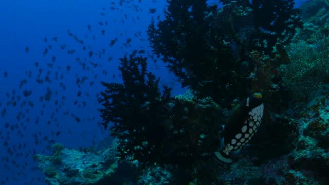coors field の海中、インド-太平洋 - ソフトコーラル点の映像素材/bロール