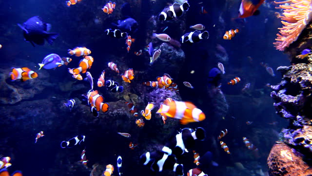 stockvideo's en b-roll-footage met clownfish - amphiprion occelaris & others - clownvis