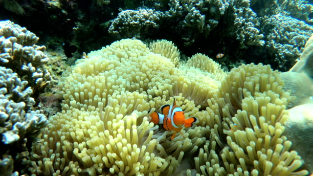 stockvideo's en b-roll-footage met clownfish familie in zee anemone - clownvis