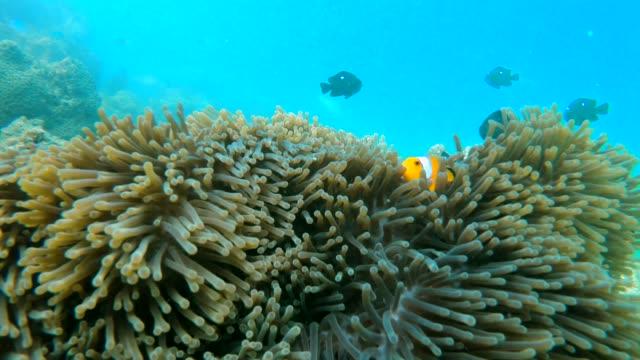 clownfish family in sea anemone - クマノミ亜科点の映像素材/bロール