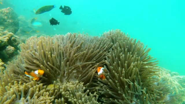 clownfish family in sea anemone - anemonefish stock videos & royalty-free footage