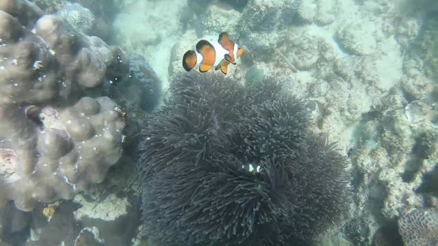 clownfish family in sea - anemonefish stock videos & royalty-free footage