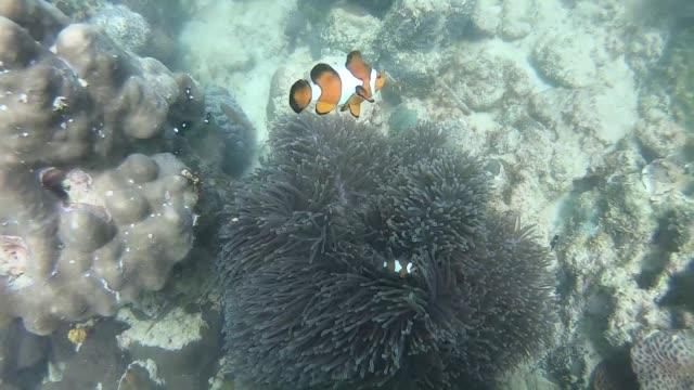 clownfish family in sea - クマノミ亜科点の映像素材/bロール