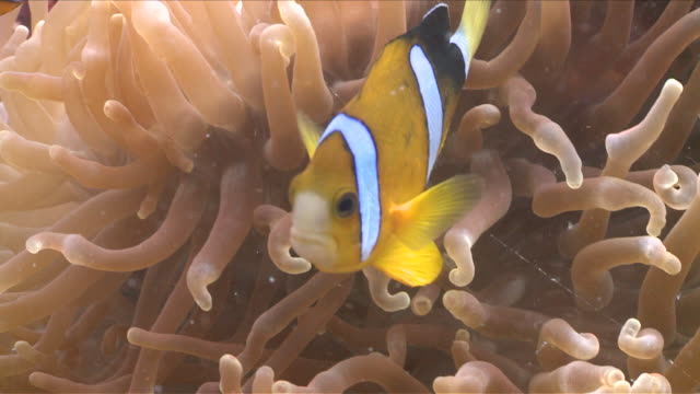 cu ts clownfish hiding in false anemone / visayan islands, the visayans, philippines   - sea anemone stock videos and b-roll footage