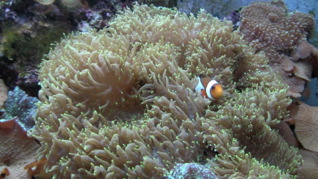 MS Clownfish (Amphiprion ocellaris) hiding in Mushroom Coral in fish tank, New York City, New York, USA