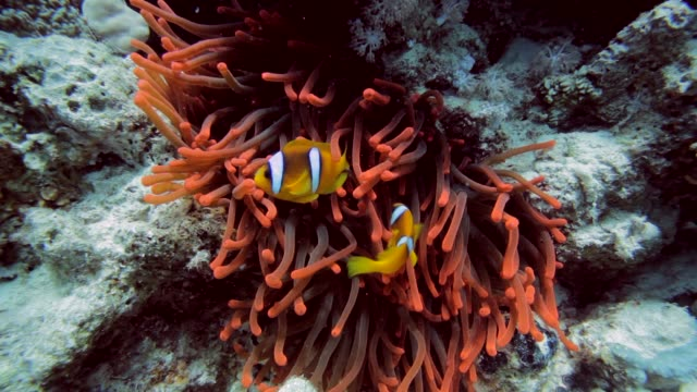 clownfish in fluorescent anemone - two animals stock videos and b-roll footage