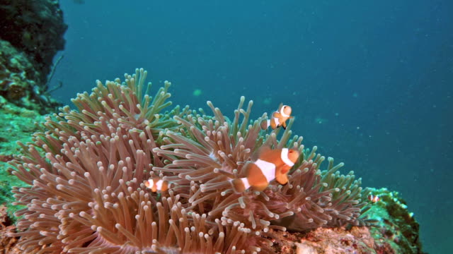 Clownfische im Unterwassermeer Anemone
