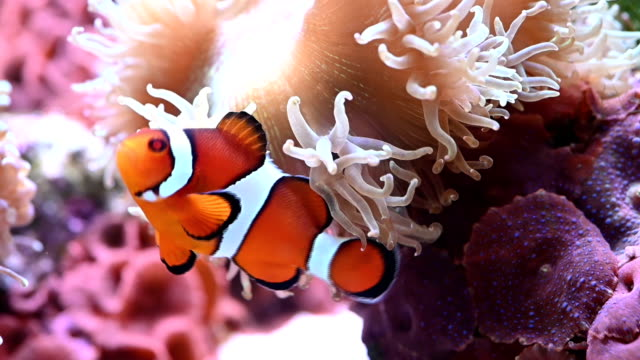 stockvideo's en b-roll-footage met clownfish slow motion - zeedieren