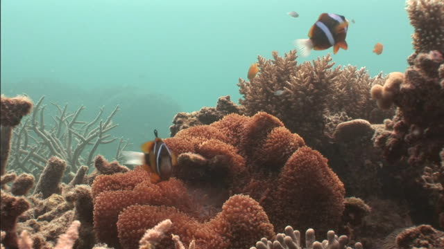 clownfish swim among colorful corals. - clown anemonefish stock videos & royalty-free footage