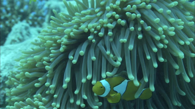 clownfish swim among the waving tentacles of a sea anemone. - clown anemonefish stock videos & royalty-free footage