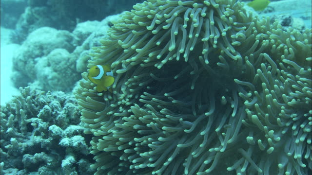 clownfish swim around a sea anemone in the great barrier reef. - clown anemonefish stock videos & royalty-free footage
