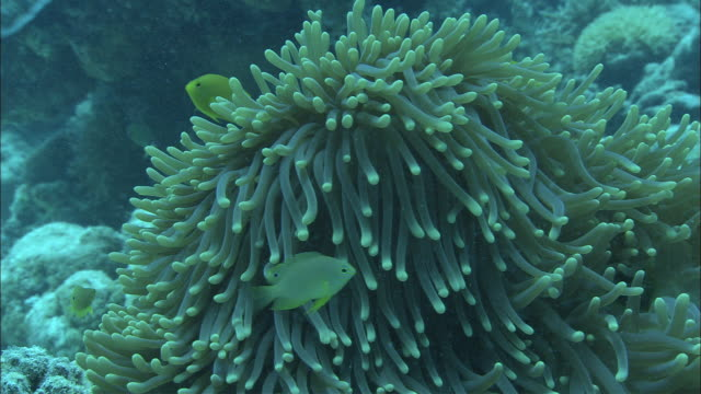 clownfish swim around a sea anemone in the great barrier reef. - seeanemone stock-videos und b-roll-filmmaterial