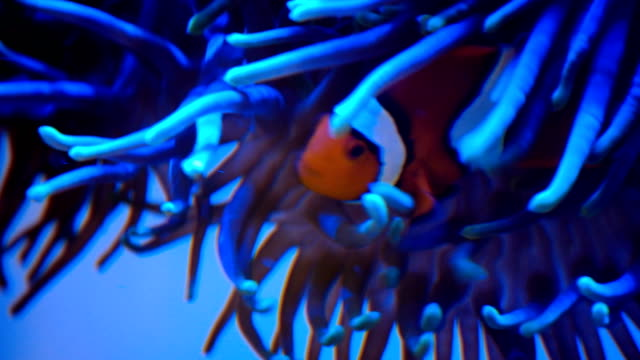 vídeos y material grabado en eventos de stock de nado del pez payaso con anémonas bajo el agua - simbiosis