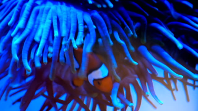 clownfish swim with anemones underwater - sea anemone stock videos and b-roll footage