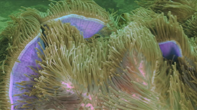 """clownfish swimming amongst anemone, pink and green"" - sea anemone stock videos & royalty-free footage"