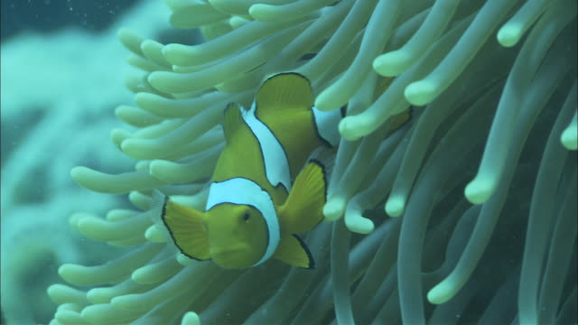 cu clownfish (amphiprion ocellaris) swimming around sea anemone at great barrier reef , queensland, australia - sea anemone stock videos & royalty-free footage