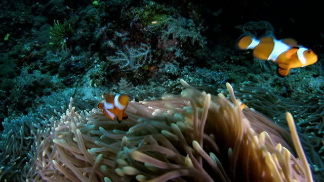 Clownfish swimming happy underwater
