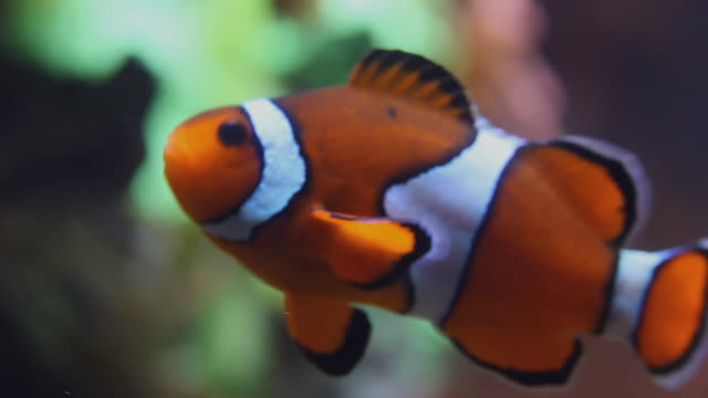 CU Clownfish (Amphiprion ocellaris) swimming in aquarium / Chicago, Illinois, USA