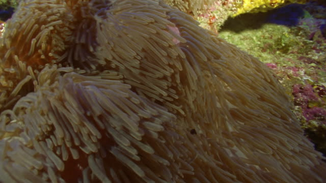 cu, clownfish swimming in sea anemone - 20 seconds or greater stock videos & royalty-free footage