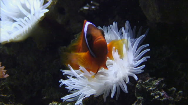 a clownfish swims next to a sea anemone. - anemonefish stock videos & royalty-free footage
