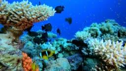 Clownfish Underwater Tropical Reef