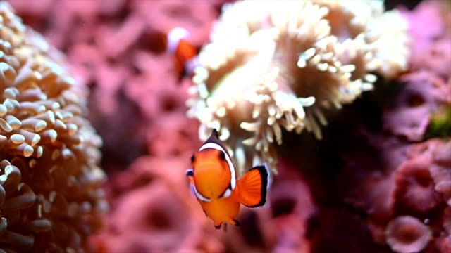 clownfish - coral stock videos & royalty-free footage