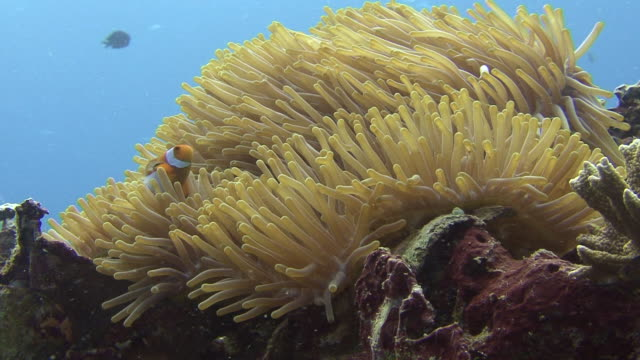 clownfish - medium group of animals stock videos & royalty-free footage