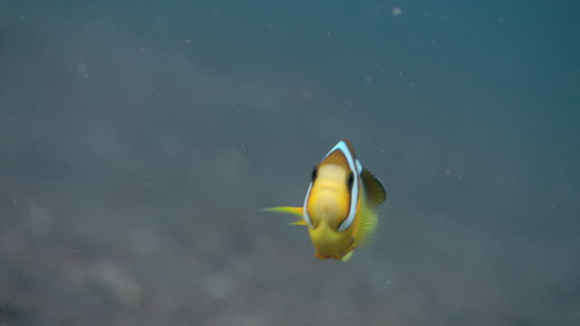 clownfish - clown anemonefish stock videos & royalty-free footage
