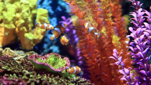 clownfish - aquarium stock videos & royalty-free footage