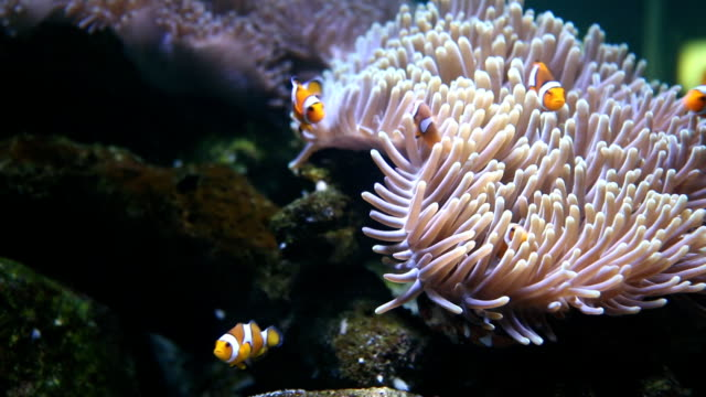 clownfish - sea anemone stock videos and b-roll footage