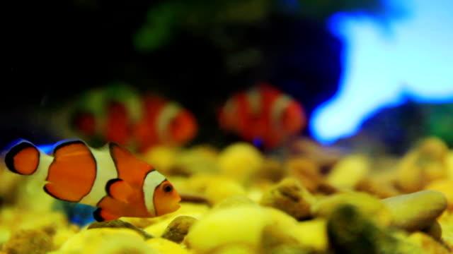 vidéos et rushes de hd:  poisson-clown - poisson clown à trois bandes